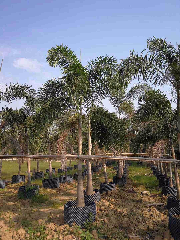 狐尾椰子  杆高3-5米  常绿树推荐  园林绿化首选