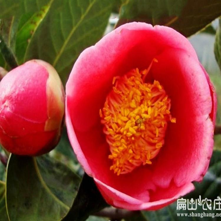 福州油茶基地 高产红花大果油茶苗 一年生嫁接油茶 福建油茶苗基地